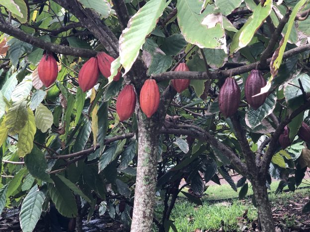 Cacao tree with purple and red pods